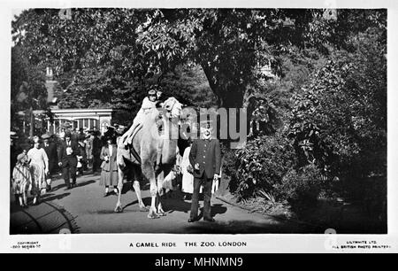 Camel ride at London Zoo on a sunny day.      Date: circa 1910 - Stock Photo