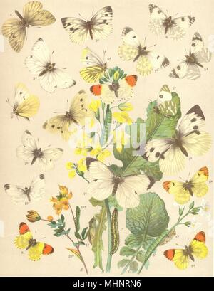 BUTTERFLIES. Pieridae; White; Green-veined; Dark Alpine; silver-streaked 1903 - Stock Photo