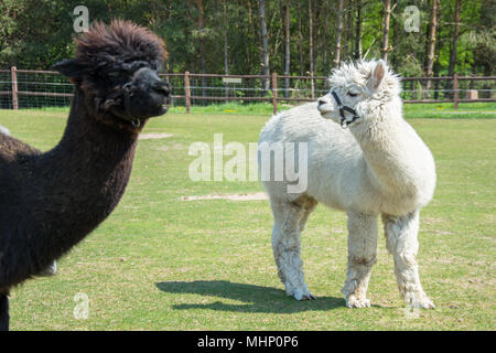 Two alpacas standing on a green pasture - white alpaca and head of brown one - Stock Photo