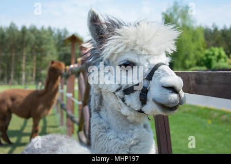 Closeup of a head of white alpaca with big black eyes and delicate muzzle - Stock Photo