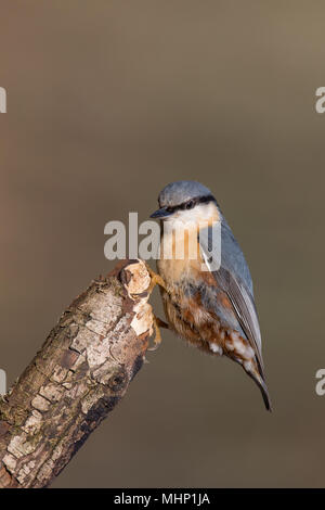 Detailed, portrait close up of single nuthatch (Sitta europaea) perched on tip of a stick, side view, but head facing forward with good front view. - Stock Photo