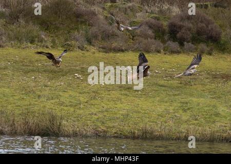 Red Kites at feeding station Nant Yr Arian - Stock Photo