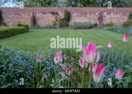 Pink tulips and variety of wild flowers including blue forget-me-nots and bluebells in Eastcote House Gardens, historic walled garden in UK - Stock Photo