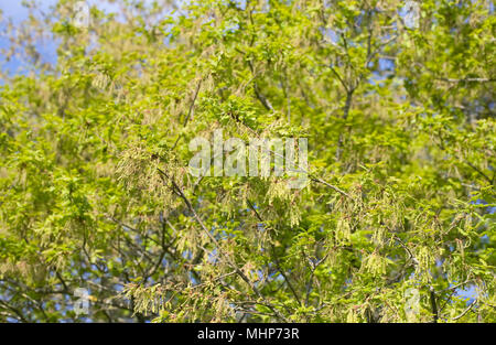 Quercus robur. Oak tree flowering in Spring. - Stock Photo