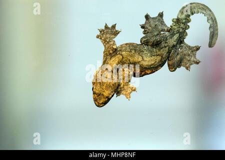 Ptychozoon kuhli Kuhl's flying gecko paw grip detail macro - Stock Photo