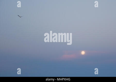 Bird flying in blue sky with moon - Stock Photo