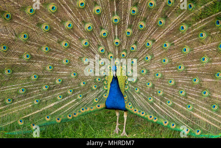 Peacock Displaying Feathers, Beacon Hill Park, Victoria, Vancouver Island, British Columbia, Canada - Stock Photo
