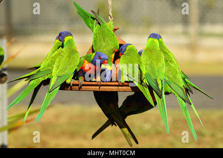 A group of Rainbow Lorikeets competing for food at a bird feeder. - Stock Photo
