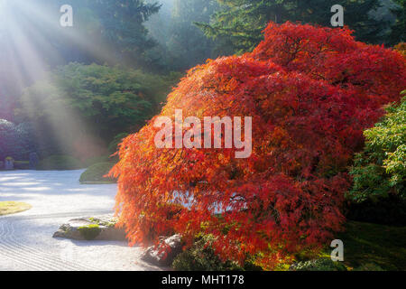 Sun rays over old Japanese lace leaf maple tree by flat sand garden during fall season - Stock Photo