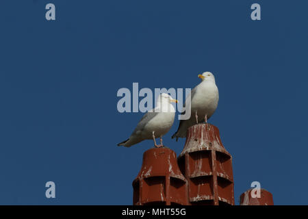 Herring Gull. Larus argentatus. Two adults perched on chimney pots. Conwy. Wales. - Stock Photo