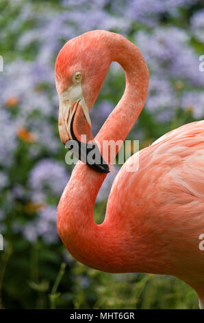 Close up of an American Flamingo, coloured pink, part of a small colony at Coton Manor Gardens, Northamptonshire, UK - Stock Photo