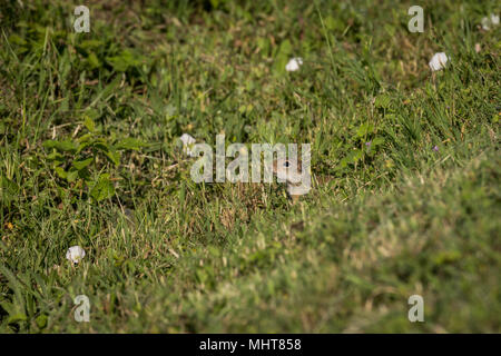 European Ground Squirrel in search of the food, a curious little animal. Is listed as being Vulnerable by the IUCN. - Stock Photo