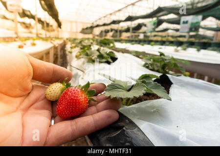 Hydroponic strawberry farm. Hydroponics method of growing plants strawberry, in water, without soil. Hydroponic lettuces in hydroponic pipe - Stock Photo