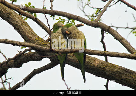 two parakeets in love on a tree branch - Stock Photo