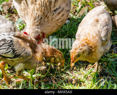 Domestic farmyard chickens, Easter Island, Chile. Female chicken with chicks feeding on the ground - Stock Photo