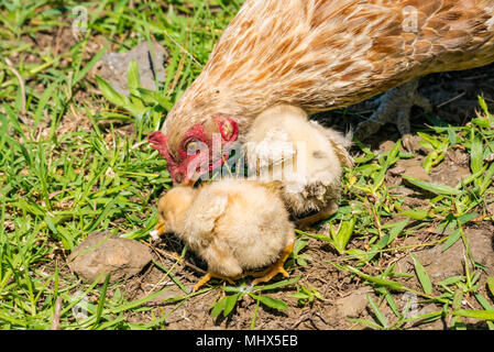 Domestic farmyard chickens, Easter Island, Chile. Cloae up of female chicken with fluffy yellow chicks feeding on the ground - Stock Photo