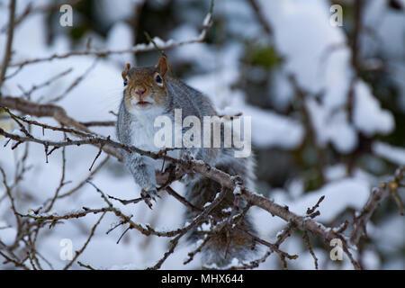 Grey Squirrel .Sciurus carolinensis  Single adult in snow. UK - Stock Photo