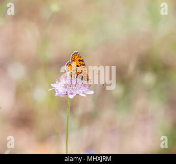 Spotted Fritillary Melitaea didyma butterfly taking nectar from a scabious flower in the Picos  de Europa Northern Spain - Stock Photo