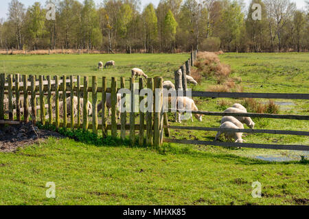 Flock of sheep grazing in the field. Kluki, Poland - Stock Photo