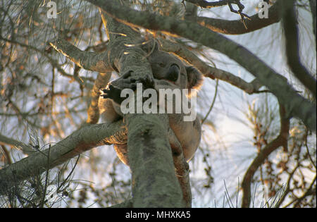 Koala (Phascolarctos cinereus) sitting on a branch of a eucalypt, Lemon Tree Passage, Port Stephens, NSW, Australia - Stock Photo