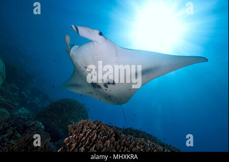 mantaray, reef manta, huge ray / /Manta alfredi) | Manta, Teufelsrochen, Flügelrochen, Riffmanta / (Manta alfredi) - Stock Photo