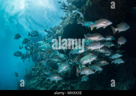 Underwater shot of red snapper shoal gathering to mate, Quintana Roo, Mexico - Stock Photo