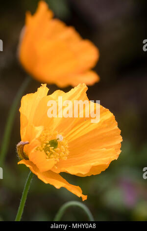 Orange single flower of the Welsh poppy, Papaver cambricum var. aurantiaca - Stock Photo