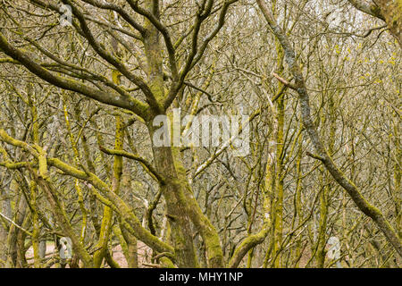 General view of woodland in spring at Nimmings Wood, Worcestershire, UK - Stock Photo