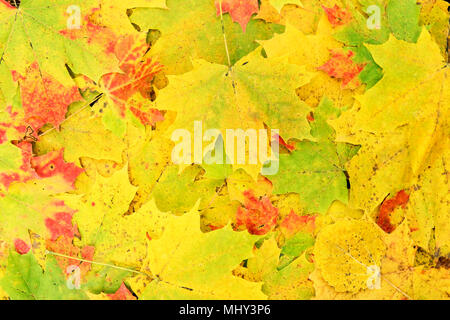 Colorful autumn maple leaves in the background - Stock Photo
