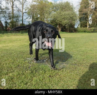 Happy black labrador dog walking in the wet grass - Stock Photo