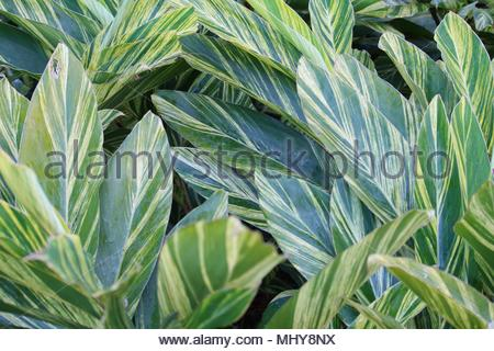 Yellow striped green leaves texture background of tropical variegated ginger plants - Stock Photo