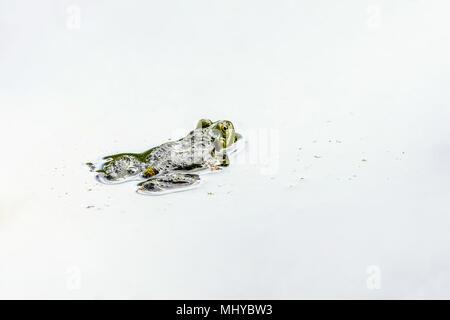 Edible frog (Pelophylax kl. esculentus), Lange Erlen, Switzerland. - Stock Photo