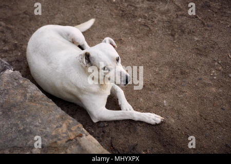 Up down view of a beautiful and clean white stray dog lying on a sandy street looking above - Stock Photo