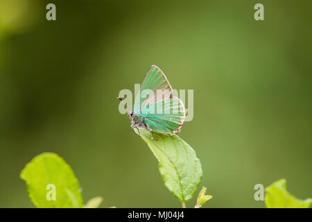 The Green Hairstreak butterfly Callophrys rubi basking on a leaf in the Picos de Europa Northern Spain also a common British butterfly - Stock Photo