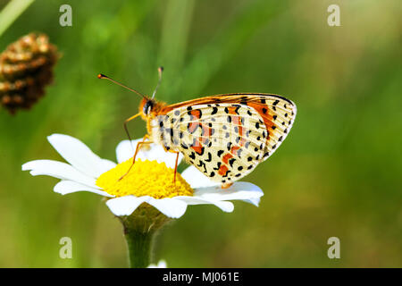 Spotted Fritillary Melitaea didyma butterfly taking nectar from a daisy flower in the Picos  de Europa Northern Spain - Stock Photo