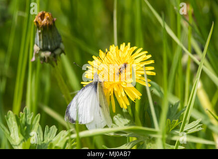 Green-Veined White butterfly (Pieris napi) on a Common Dandelion (Taraxacum officinale) flower head in late Spring in West Sussex, England, UK. - Stock Photo