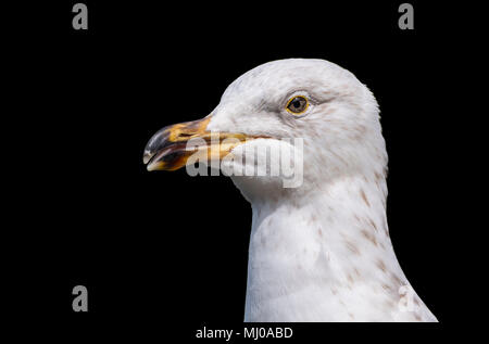 Close up of the head and beak of a Juvenile Herring Gull (Larus argentatus) in the UK on a black background. Seagull cutout closeup. - Stock Photo