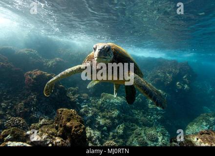 Green sea turtle off the coast of Makena, Maui, Hawaii. - Stock Photo