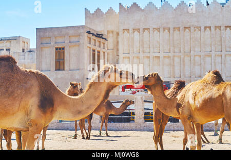 Close-up of camels, walking on the sand on territory of camel pen in Souq Waqif district of Doha, Qatar. - Stock Photo