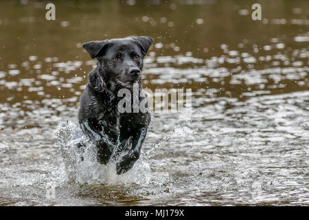 Black labrador dog running through the water towards the camera with front legs lifted in the air - Stock Photo