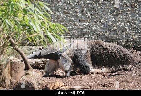 Anteater - Stock Photo