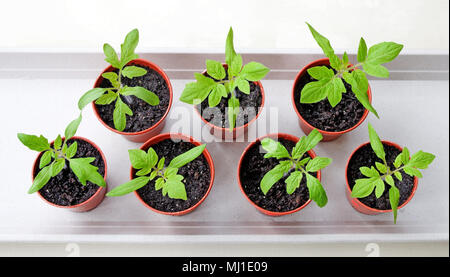 Looking down on young tomato seedlings growing in small brown plastic pots on white tray, spring, England UK - Stock Photo