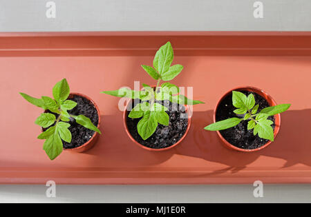 View from above of three young tomato seedlings growing in sunshine in small brown plastic pots on brown tray, spring, England UK. - Stock Photo
