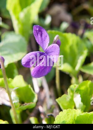 close up of sweet violet flower macro petals perfect beautiful; essex; england; uk - Stock Photo