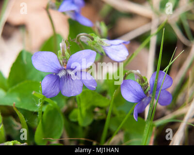 close up of beautiful spring sweet violet flower petals nature macro; essex; england; uk - Stock Photo