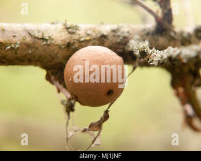 close up of old oak gall seed nut on tree branch macro detail; essex; england; uk - Stock Photo