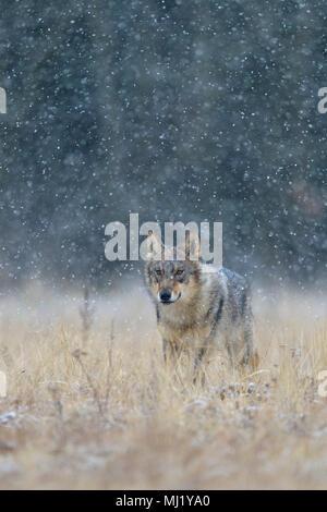 Gray wolf (Canis lupus), runs across a meadow in heavy snowfall, National Park Little Fatra, Slovakia - Stock Photo