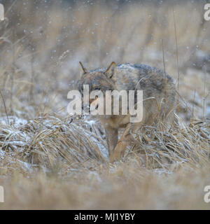 Gray wolf (Canis lupus), runs in a meadow in snowfall, National Park Little Fatra, Slovakia - Stock Photo