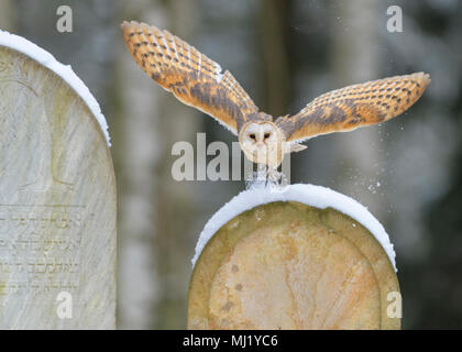 Common barn owl (Tyto alba), flying over snow-covered gravestones in a cemetery, Moravia, Czech Republic - Stock Photo