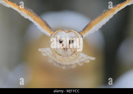 Common barn owl (Tyto alba), in flight, winter, Moravia, Czech Republic - Stock Photo